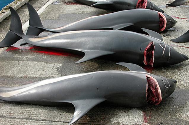Condamnons les mangeurs de dauphins - Stoppons ce massacre