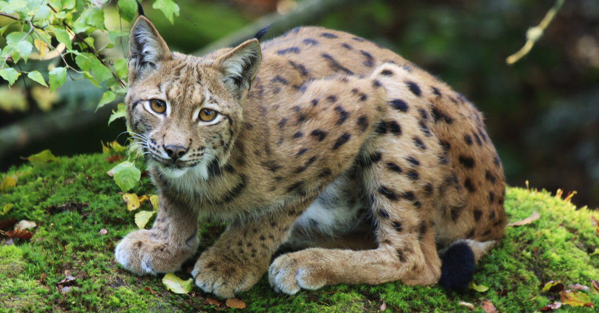 Halte au massacre des lynx en France : l'espèce est en danger